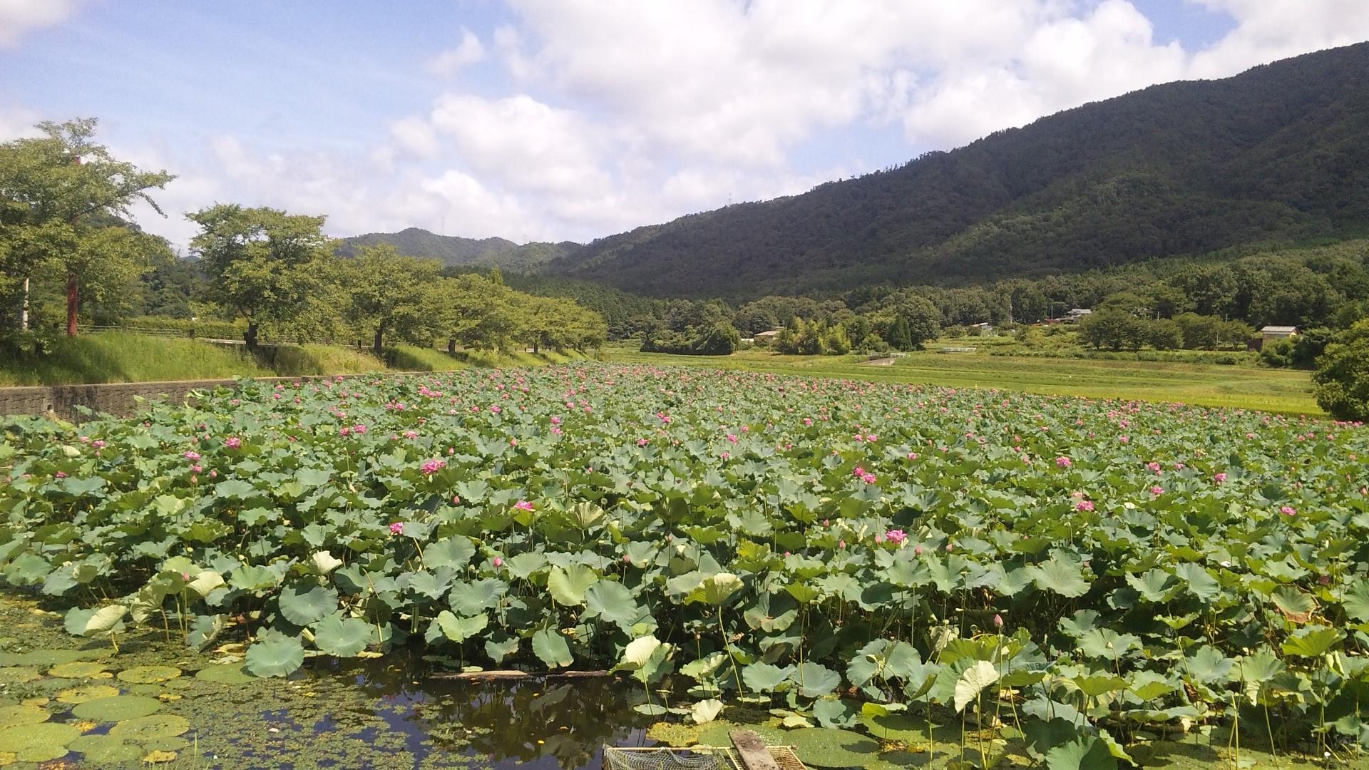 平の沢池の蓮の花群